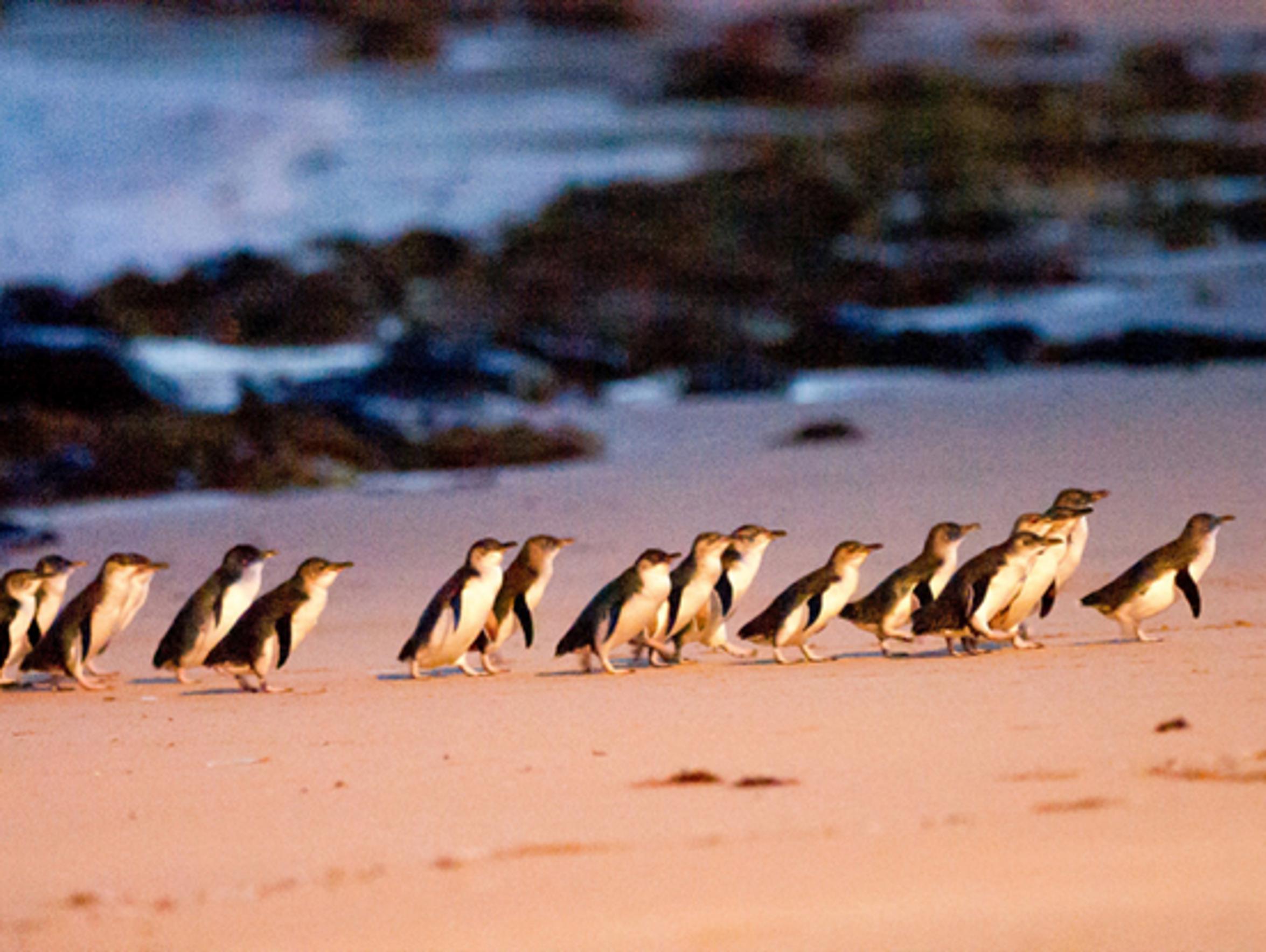 Visit the most popular penguin pathway in Australia