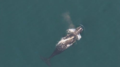 A North Atlantic right whale with prop scars