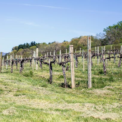 The extension vineyard sits below the Inn on Biltmore with buds opening on Friday..