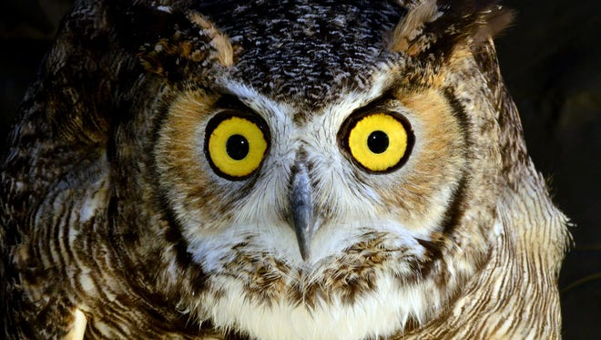 A great horned owl can only pick up an animal as large as five or six pounds.