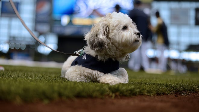 Hank the dog, the stray dog who was taken in by the Milwaukee Brewers at training camp in Arizona, lays on the grass as members of the Milwaukee Brewers take batting practice before their game against the Pittsburgh Pirates at Miller Park in Milwaukee on Wednesday, May 14, 2014.