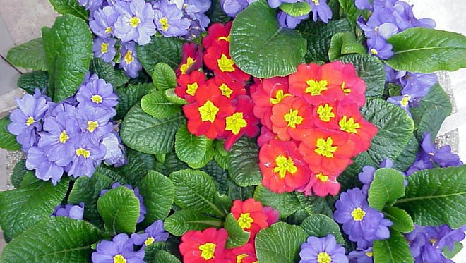 Primrose (Primula malacoides) has dense flower clusters of red, pink, carmine or white, held above compact, uniform foliage.