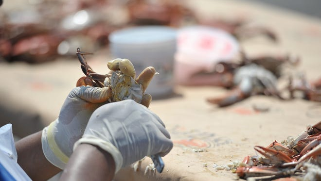 Pickers feverishly worked to get as much crab meat as they could before time was up during the annual Crab Picking Contest at the 67th National Hard Crab Derby in Crisfield.