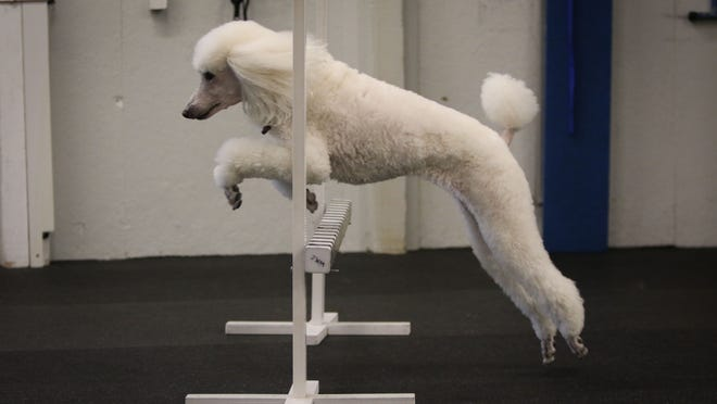 Seven-year-old standard poodle Ziva clears an obedience jump while navigating obstacles at the Wilmington Kennel Club. The Wilmington Kennel Club is celebrating its 80th anniversary in 2015.