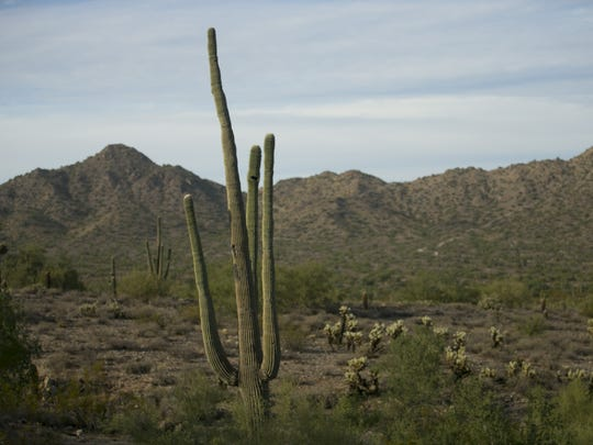 A saguaro along the Stargazer Trail in the San Tan Mountain Regional Park outside of Queen Creek on November 13, 2017.