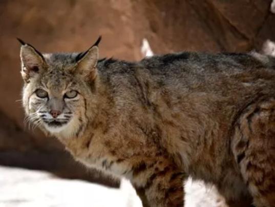 Trophy Hunting Big Cats Arizona