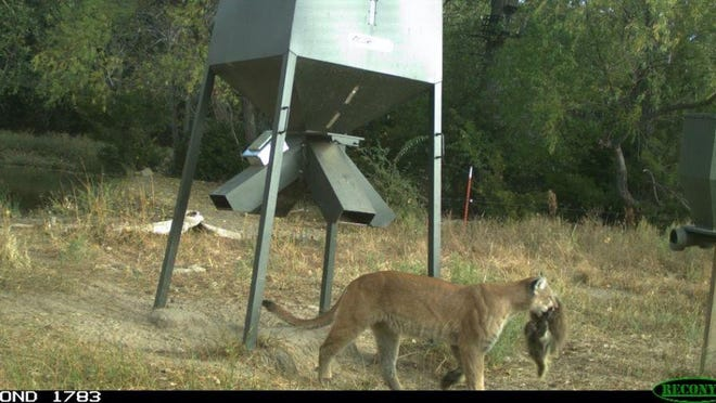 The Kansas Department of Wildlife, Parks and Tourism on Sunday posted on its Facebook page this trail camera photo showing an adult mountain lion carrying a recently killed porcupine. The photo was taken in Kiowa County, where Greensburg is the county seat.