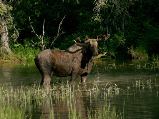 """This moose was dubbed """"Moosey Lucy"""" by Hallie Thompson"""