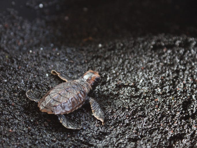 "The new National Geographic program ""Wild Hawaii"" gives viewers a glance at the abundant wildlife on The Big Island. Here are some of the amazing creatures visitors to Hawaii may encounter. A hawksbill sea turtle hatchling emerges from its nest in Hawaii Volcanos National Park and heads for the ocean."