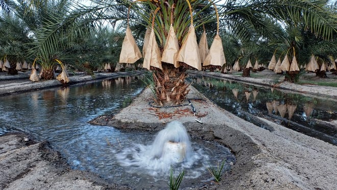 Water bubbles from a pipe as wage fills a earthen tough between rows of fruit bearing date palms in Thermal for agriculture watering story shot Thursday, September 25, 2014 in Indio ,Thermal, and Coachella.