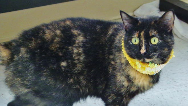 Sheba is 4-year-old tortie girl with gorgeous markings. She's a real nice cat with wide, golden eyes who just wants to be loved. Stop out and meet her and we know you'll fall for her.