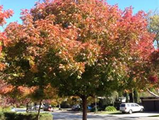 The Chinese Pistache tree is a good tree for residential
