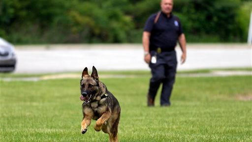 In this photo taken June 1, 2015, Lawrence Police Department Officer Matthew Hickey watches as his dog Axel performs a search drill at a school in Indianapolis. Axel, a 5-year-old German shepherd that spent three years in Afghanistan as a search and narcotics dog, will spend the rest of his working career in Indianapolis, where he's been assigned to the Lawrence Township School District police force. (AP Photo/Michael Conroy)