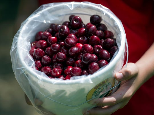 A bucket of just picked sweet cherries from Orr's Farm Market in Martinsburg, W.Va. With its sweet fruit-flavored liqueurs, a working farm and eccentric cast of characters— including a dancing lemon — Bloomery Plantation Distillery has attracted tourists from every U.S. state and countries as far away as Laos and Iceland. The West Virginia mini-distillery is part of a growing agriculture tourism trend that advocates say can help revive struggling rural economies. Ag tourism refers to working farm enterprises geared to visitors, encompassing farm stands, pumpkin patches, barn dances, zip-line rides, pick-your-own berries, corn mazes and even weddings.