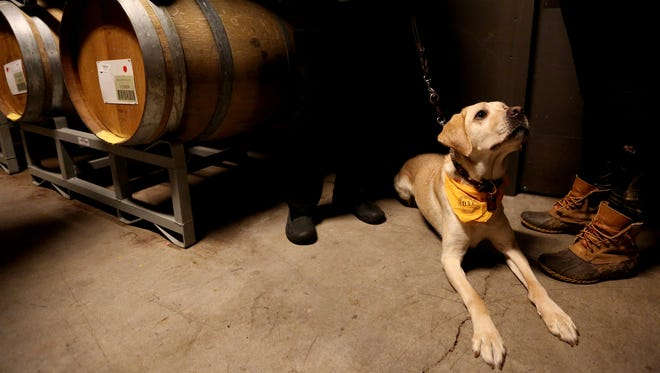Gucci the yellow Labrador retriever of the Marilyn Richen sits among wine barrels during the Joriad North American Truffle Dog Championship.