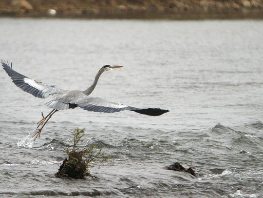 A blue heron takes off from White River near Red-tail
