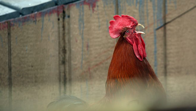 File photo of a rooster