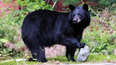 File photo of black bear.