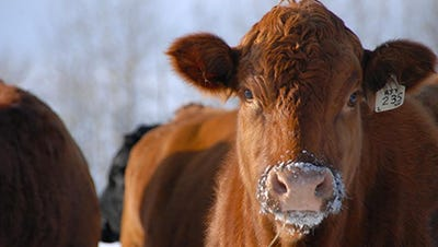Keeping cattle in good condition through the fall and into early winter ultimately helps insulate the animal and minimize the amount of feed required later in the winter season.