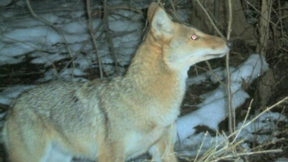 A motion-activated camera caught this Eastern coyote eating at a bait station in New Castle County in February 2010.