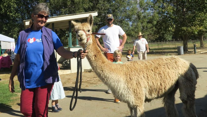 In this file photo, Cindy Harris, owner of Alpacas at Windy Hill in Somis, walks one of her charges across the ground during a past Ventura County Farm Day.