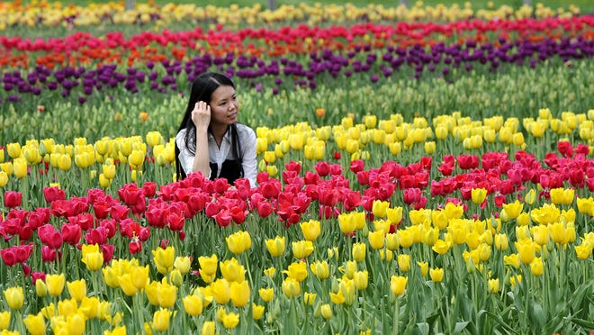There are 6 million tulips in Holland for the annual Tulip Festival.