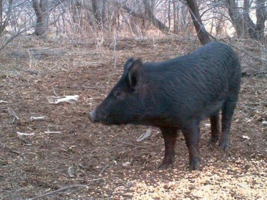 Texas estimates 2.6 million wild hogs existing in 253 of the 254 counties.