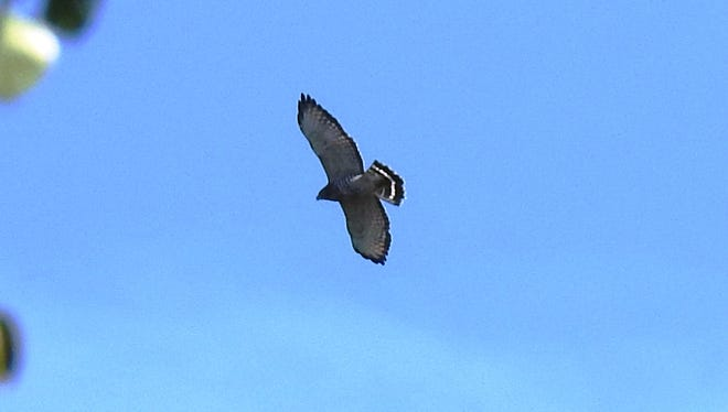 A migrating broad-winged hawk, taken by a Woodland Dunes volunteer.