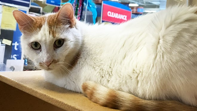 Polo is a charming cat waiting for his forever home.