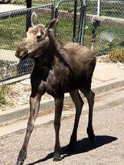 A young bull moose walks through a neighborhood in