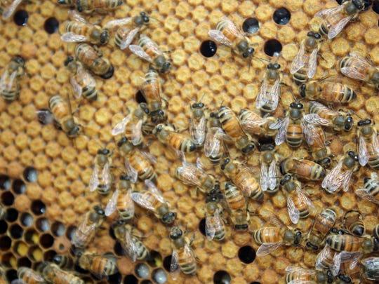 Honeybees at work in beehives at the Cincinnati Zoo's Bowyer Farm property in Warren County.