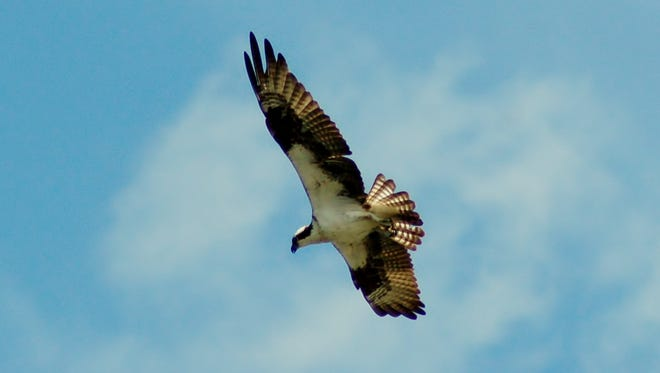 Osprey is a species of bird that should still be shown concern.