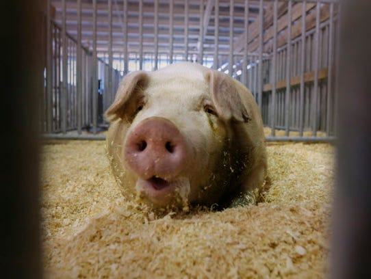 A pig cools off at the State Fair.
