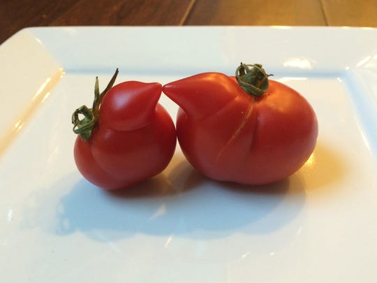 Tomatoes that look like they have noses are among the