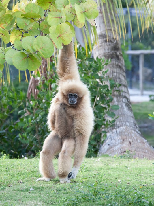 Zoo Profiles - Gibbons - white handed.jpg