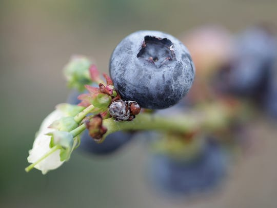 Patty's Patch Blueberry U-Pick is open for the season, picking 9 a.m.-6 p.m Wednesday-Sunday.