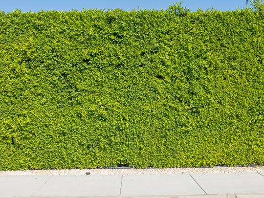 The lush hedge of a vacation rental house, operated by the ACME House Company, located in the Movie Colony neighborhood of Palm Springs on Thursday, November 10, 2016.