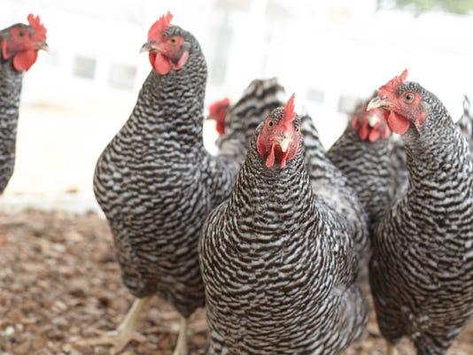 Purina-Hens-in-Coop.jpg