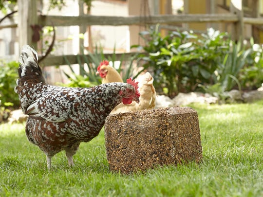 If hens are pecking one another, it may be because