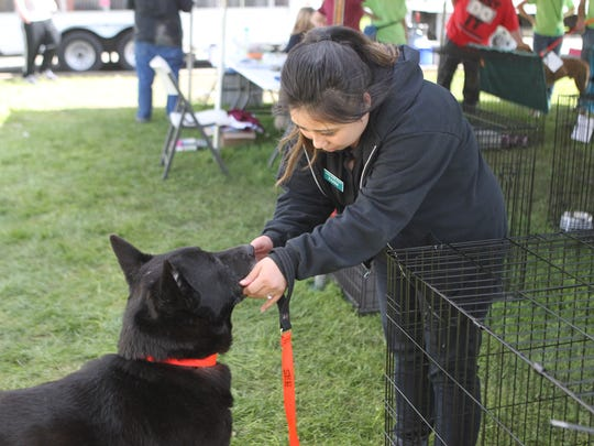 A Haven Humane Society employee works with Dakine, 8, a black German shepherd up for adoption Saturday.