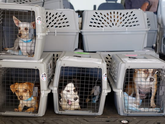 FILE - In this Nov. 20, 2015, file photo, rescue dogs wait in a hanger to board planes at the Van Nuys Airport in the Van Nuys section of Los Angeles. Traveling with pets has become easier thanks to pet-friendly hotels. But air travel with pets is a bigger challenge than a roadtrip, and recent news about pet deaths during air travel worries many owners. Air travel is usually quite safe for dogs and cats, says veterinarian Julia Langfitt, who has treated pets in the U.S. and Asia, and is now based in the U.K. (AP Photo/Richard Vogel, File)