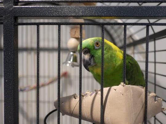 An abandoned parrot at the Hudson Valley Humane Society