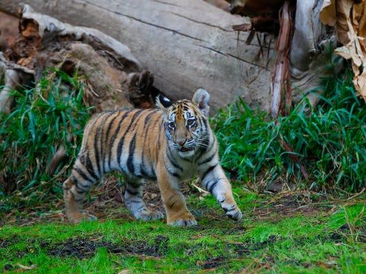 636547543101961559-tiger-cub-smuggled-2.jpg