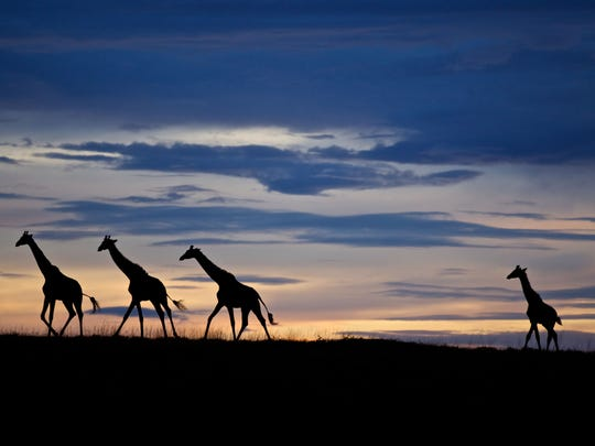 A small herd of giraffe trek their way across a plain, backlit by a multi-colored sunset in Serengeti National Park, Tanzania.