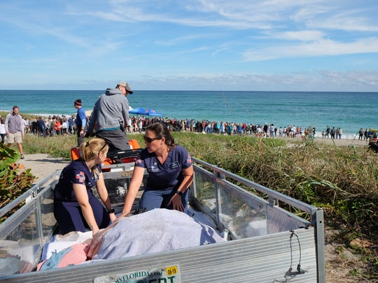 Loggerhead Marinelife Center staff prepare Honda, the sea turtle, for release Nov. 28, as crowds gather on the beach.