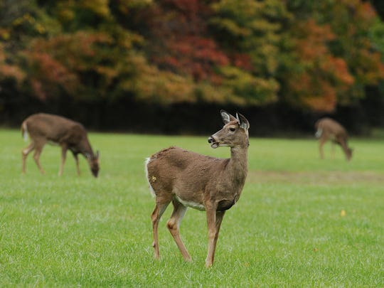 """Deer graze at the edge of the woods at Eagle Creek Park on Oct. 23, 2013. Although no deer census has been undertaken at Eagle Creek park,  deer are """"abundant"""", said Maureen Faul of Indy Parks."""