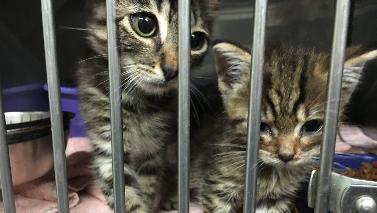 Cat Pacity Waiting List Grows At Robertson Animal Shelter