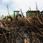Burned sugar cane awaits harvesting in Clewiston in April of 2015.  Earthjustice and other environmentalists say the under-regulated burning of sugar cane violates the Clean Air Act, and that the industry is polluting South Florida air with toxic carcinogenics.  The cane is burned to get rid of the underbrush leaves.
