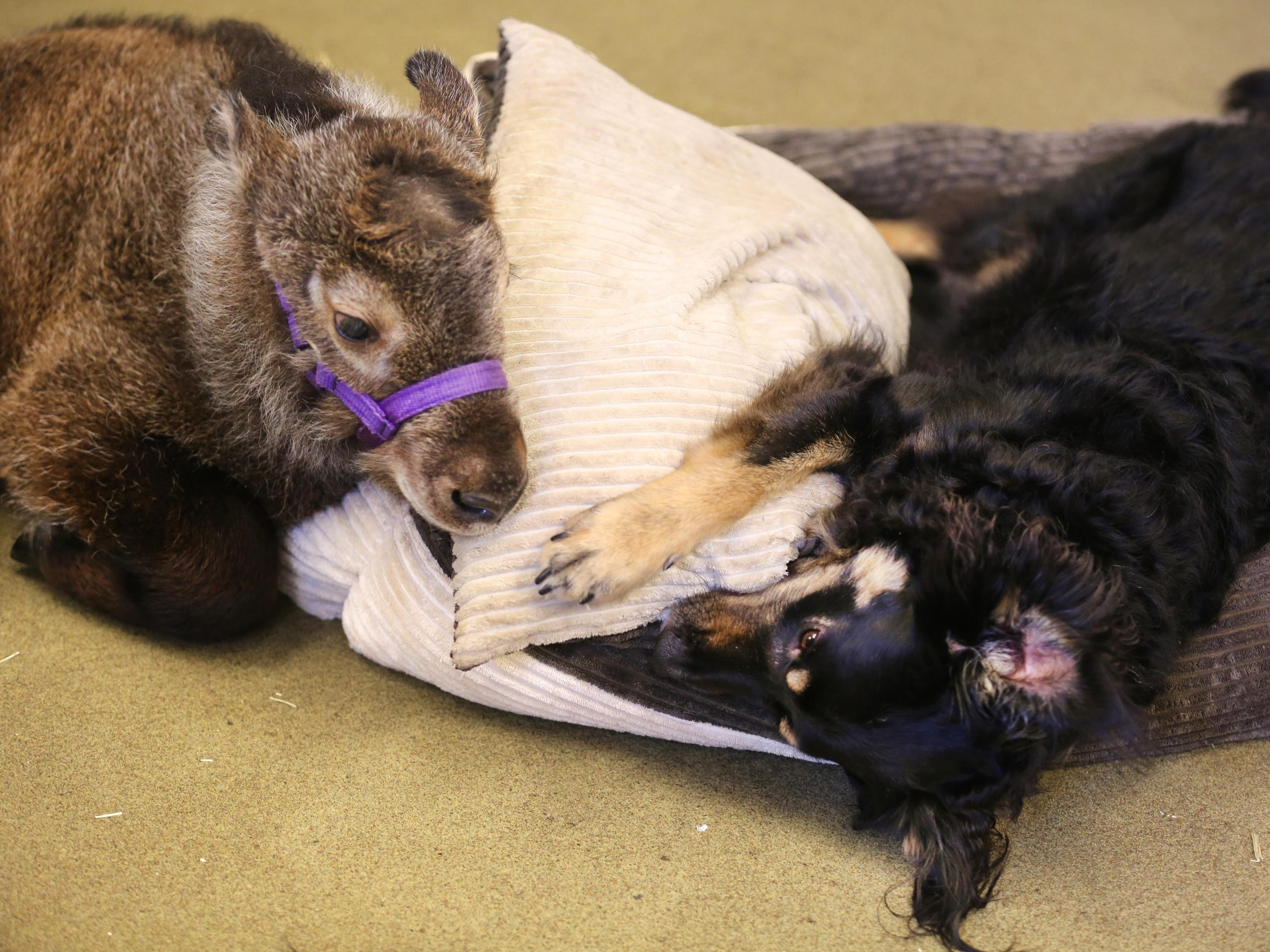 Dale, a six-week-old takin, left, is a temporary house