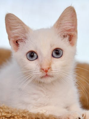 Snowy is a 2-year-old, white, flame point Siamese kitten. She has blue eyes and is very sweet. Snowy is available for adoption at the Wichita Falls Animal Services Center.